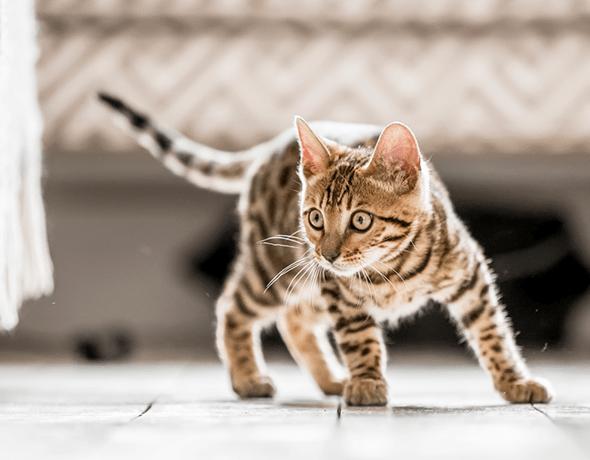 Petprotect - Katzenkrankenversicherung - Katze schaut (590 / 460)
